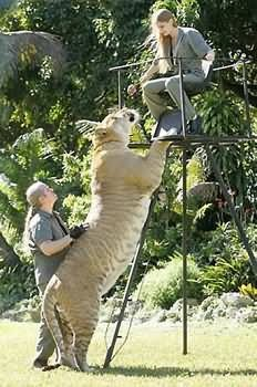 Liger hybrid of Lion and Tiger Biggest Cat in the world